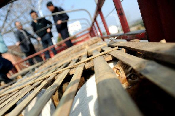【中国】食用の「野良猫2800匹」を救出5