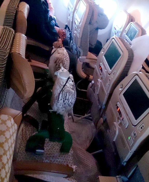 【アラブ】金持ちの男、鷹12羽を連れて飛行機に搭乗1