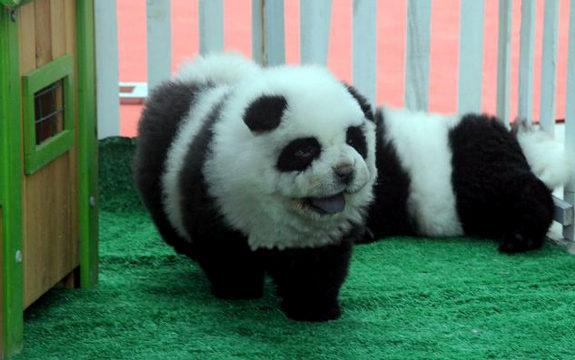 中国で「パンダ犬」が流行1