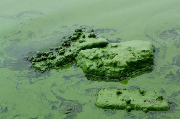 【中国】太湖に緑藻異常発生1