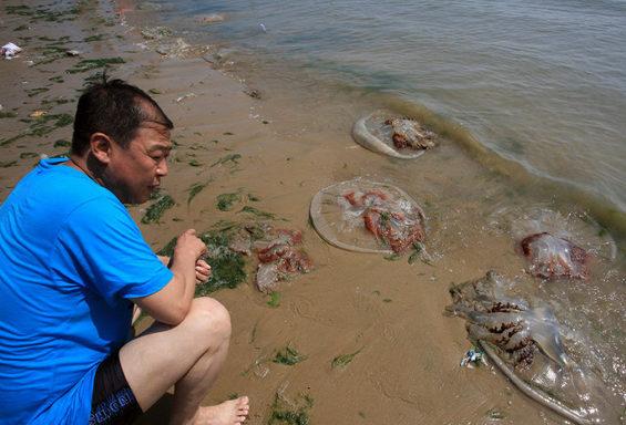 【中国】 河北省、海水浴場で巨大クラゲ大量発生1