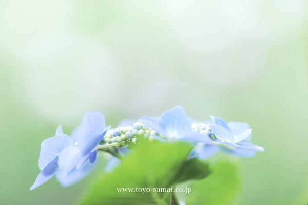 見沼 染谷しょうぶ園 さいたまの風景 菖蒲