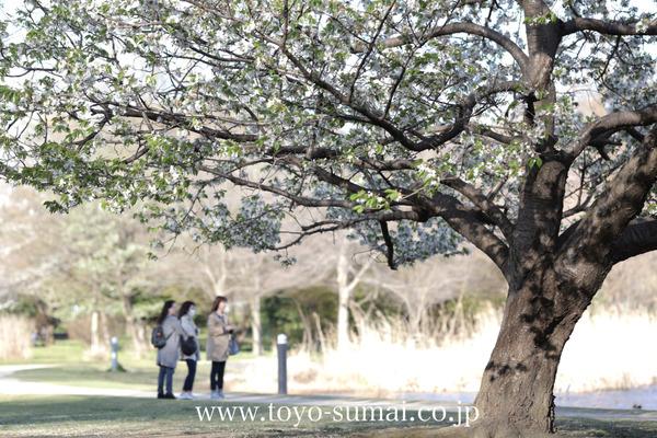 さいたまの風景 見沼自然公園 桜