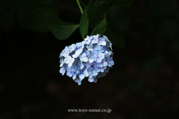 大宮第2公園のあじさい 紫陽花