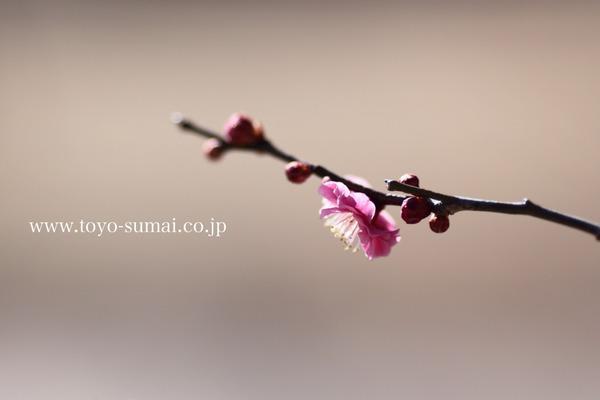 さいたまの風景 梅