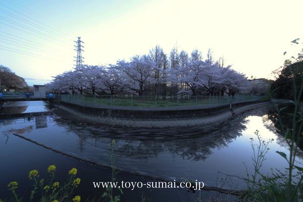 さいたまの風景 見沼代用水 見沼田んぼ 桜並木 日本一