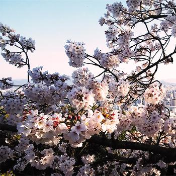 仏舎利の桜