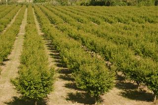 5 orchard