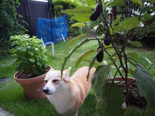 茄子とシソ