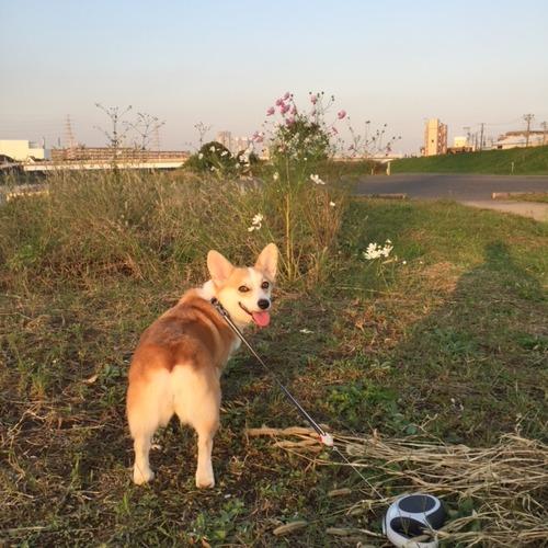 夕焼けとコスモス(^ε^)-☆Chu!!