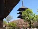 東寺五重の塔と散りゆく桜. 4/16/2017