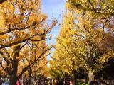 神宮外苑いちょう祭り、Dec.11th まで