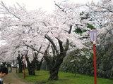 盛岡城の桜