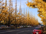 A famous avenue of maidenhair trees. Wow, whose car is there ?