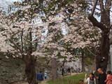 盛岡城 (不来方城) の石垣と桜
