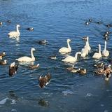 シベリアから越冬に訪れた白鳥たち