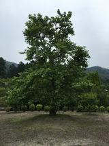 ヒポクラテスの木(ギリシャの原木の枝から育てられた血統書つき, 武田薬品薬草園, 京都)