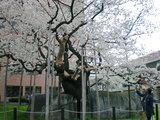 天然記念物の石割桜 (盛岡裁判所前)