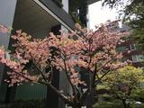 かわづさくらが満開 (東京八重洲. 2017/4/5)