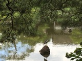 平安神宮 鷺