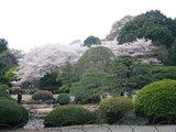 桜咲く新宿御苑