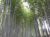 風が音を奏でる嵐山の竹林