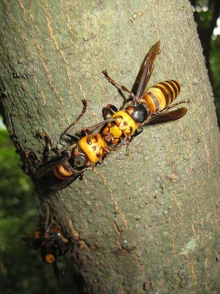 2匹のオオスズメバチ (1)