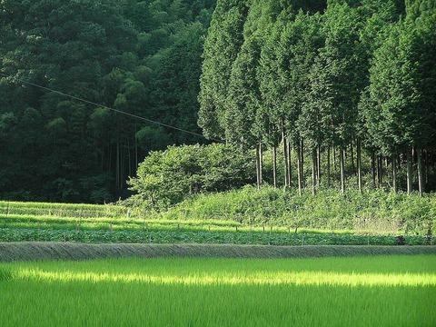 針葉樹の代表格であるヒノキの人工林