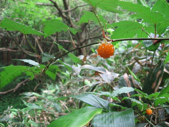 モミジイチゴの果実