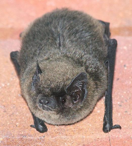 クロオオアブラコウモリ (1)