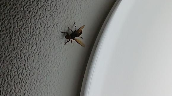 壁に留まるスズメバチ