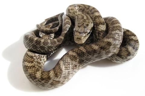 アオダイショウの幼蛇