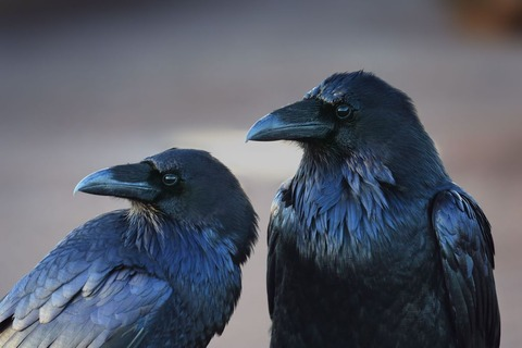 Crow-Wallpaper-for-Laptop