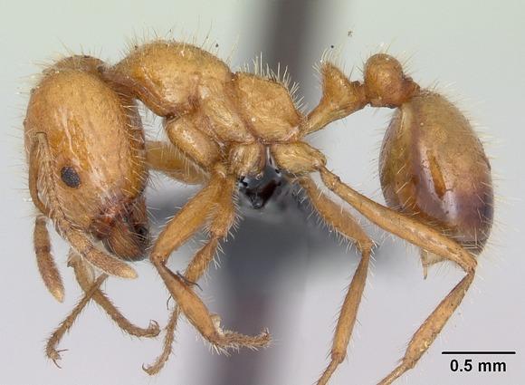 11Solenopsis_geminata_casent0063125_profile_1