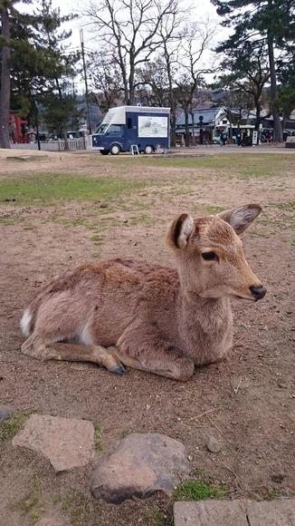 お座りする奈良公園のシカ