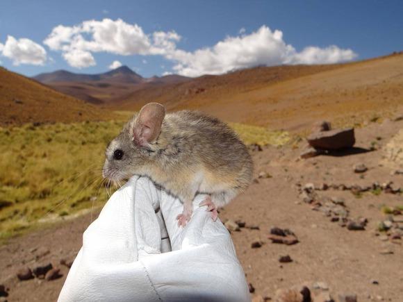 キジリオオミミマウス (1)