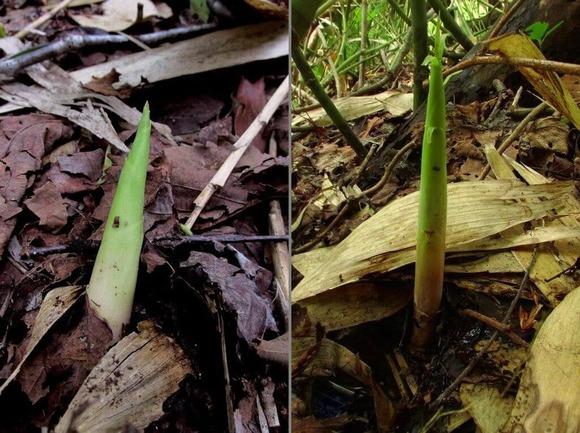 採取に適した竹の子(食用) (1)