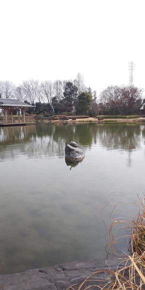 池の石で甲羅干しする亀