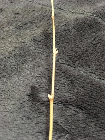 竹の節接写