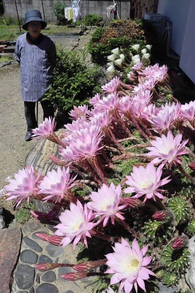 花を一斉に咲かせたサボテン (1)