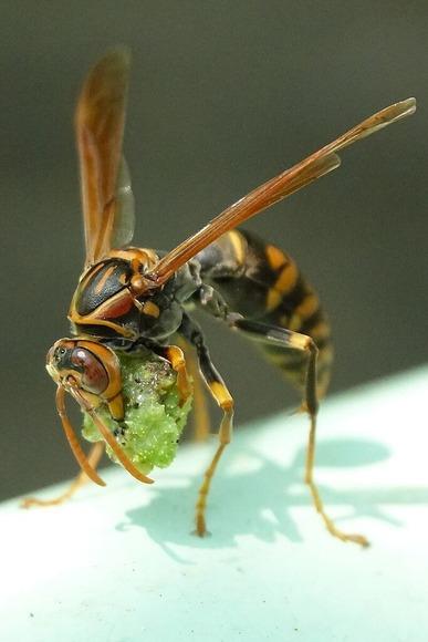 アシナガバチ (1)