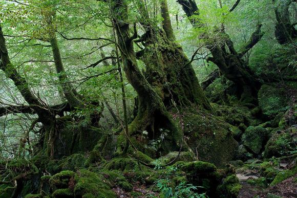 白谷雲水峡の照葉樹林 (標高約900m)