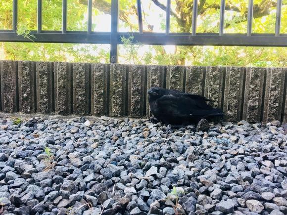 巣から落ちたカラスの雛
