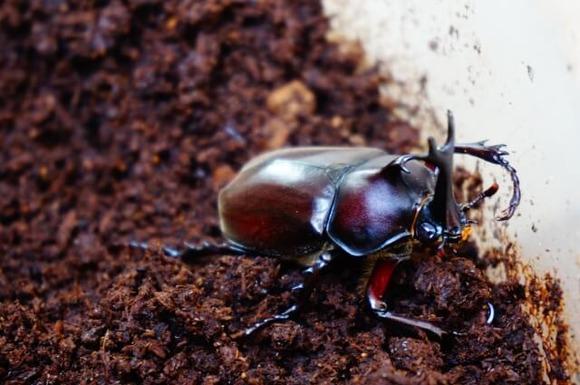 【緊急】ワイ、カブトムシの大量羽化により飼育崩壊目前