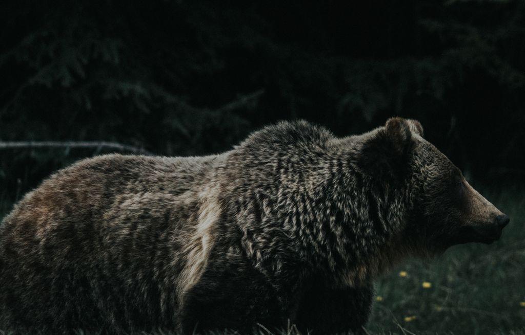 コディアックヒグマの画像 p1_36