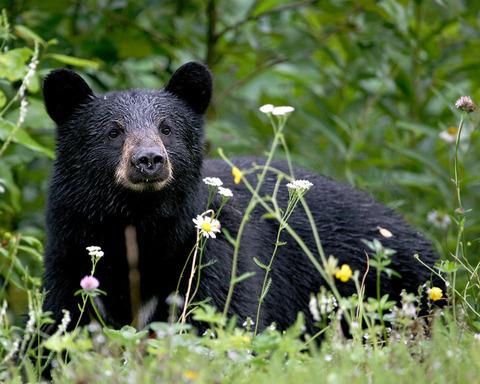 black-bear-29-widescreen-wallpaper