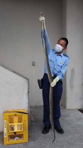 捕獲されたハブを持つ身長165センチの警察官