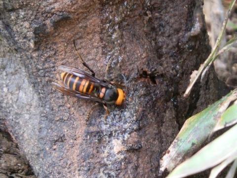 木に留まるスズメバチ