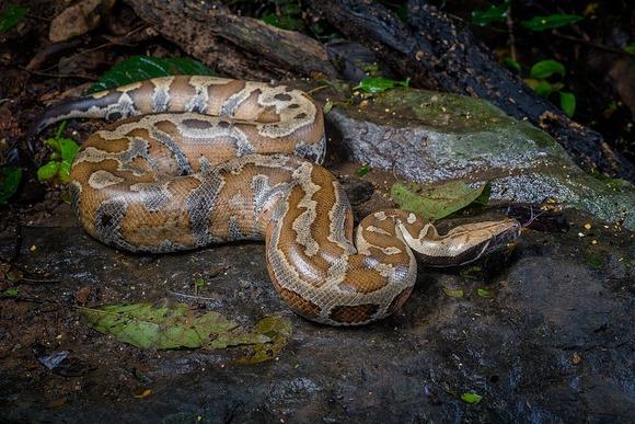 Python brongersmai (1)