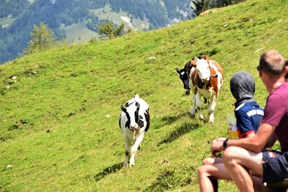 cow (1)